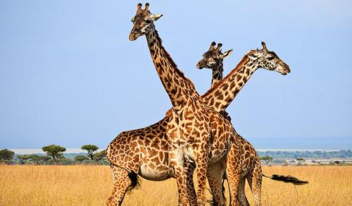 Twiga-Safari